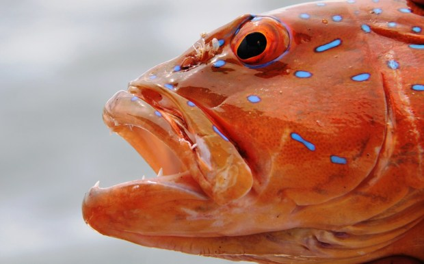 Coral Trout on soft plastics - things were looking up!